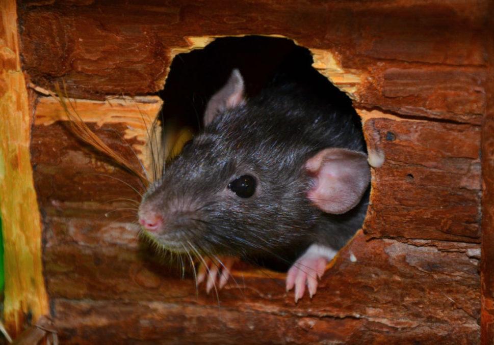 мыши на участке