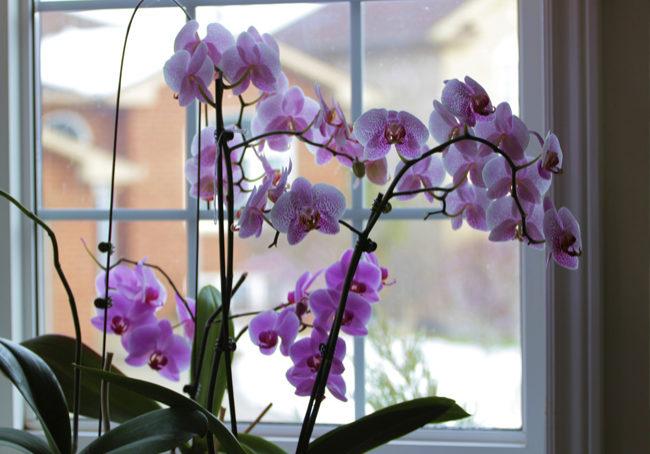Какой вид орхидеи выбрать начинающему цветоводу