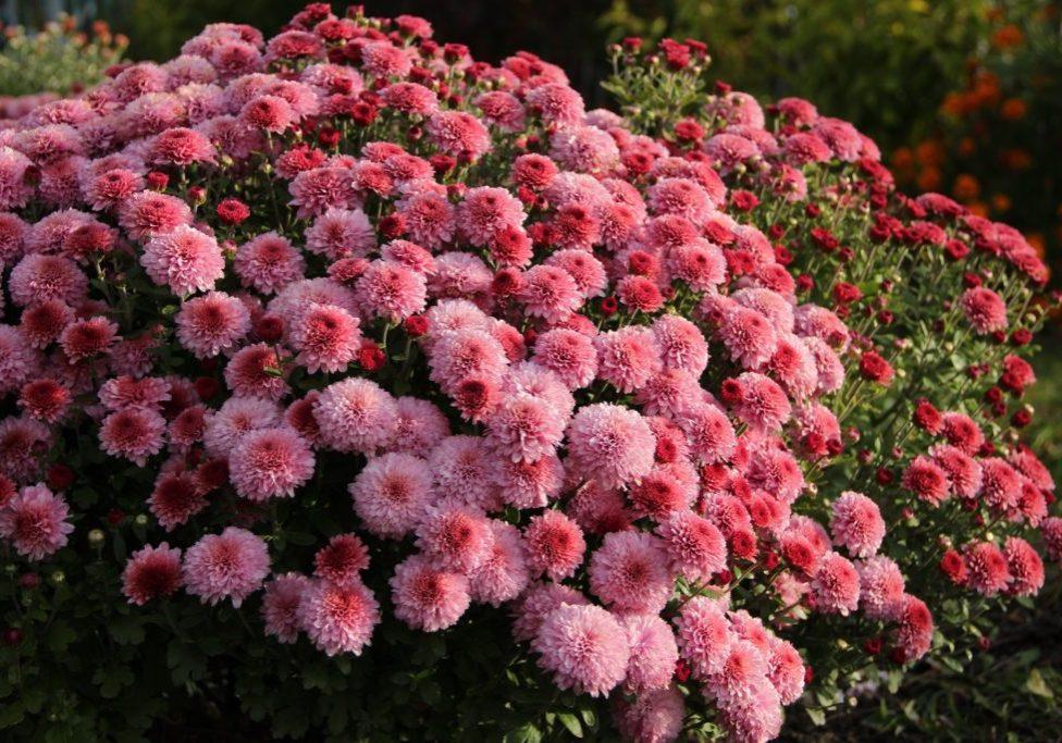 Хризантемы Дачная АгроМЕРА